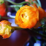 For the Love of Ranunculus
